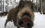 FILES-GERMANY-ANIMALS-WILD BOARS