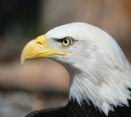 bald-eagle-140793_1920